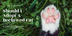 Should I Adopt A Declawed Cat: 4 Intimating Reasons