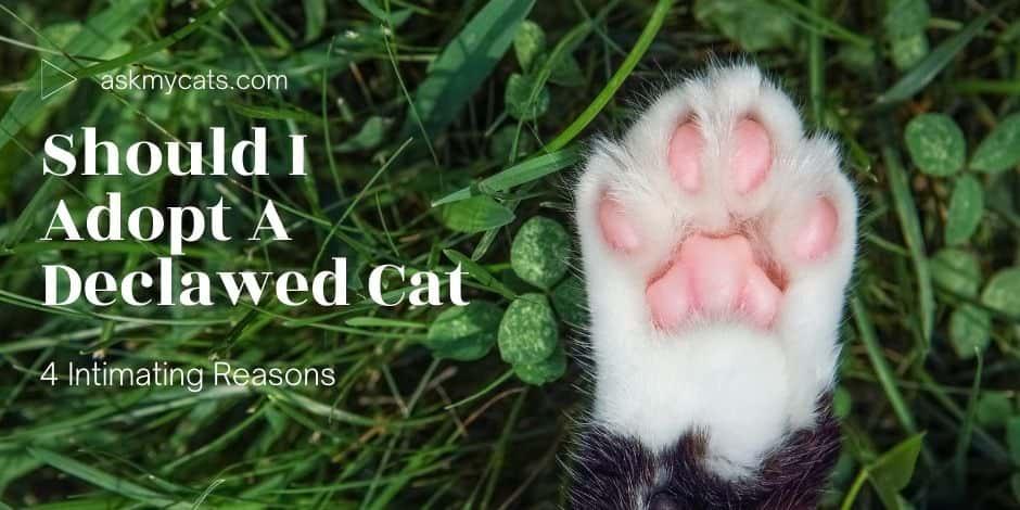 Should I Adopt A Declawed Cat