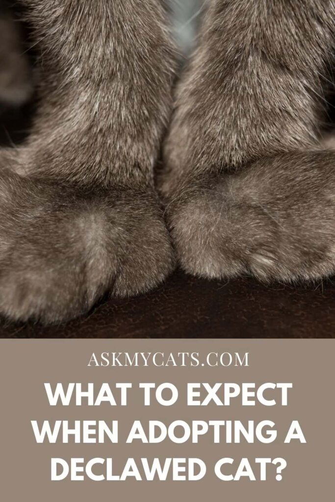 What To Expect When Adopting A Declawed Cat