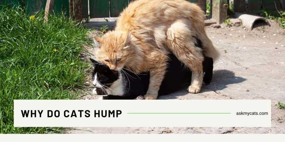Why Do Cats Hump