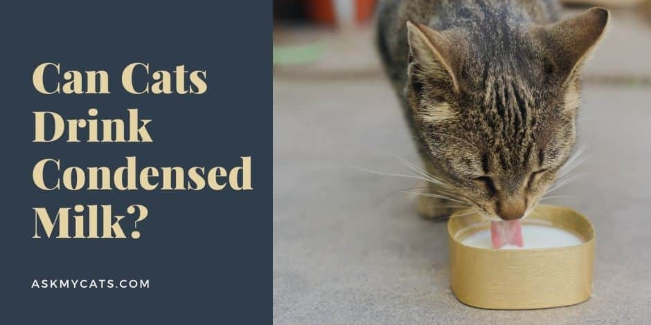 Can Cats Drink Condensed Milk