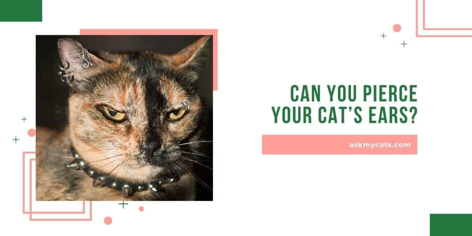 Can You Pierce Your Cat's Ears