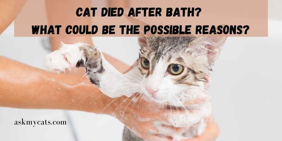 Cat Died After Bath What Could Be The Possible Reasons
