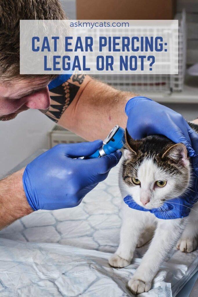 Cat Ear Piercing Legal Or Not
