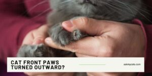 Cat Front Paws Turned Outward?  Out Of The World Reasons!