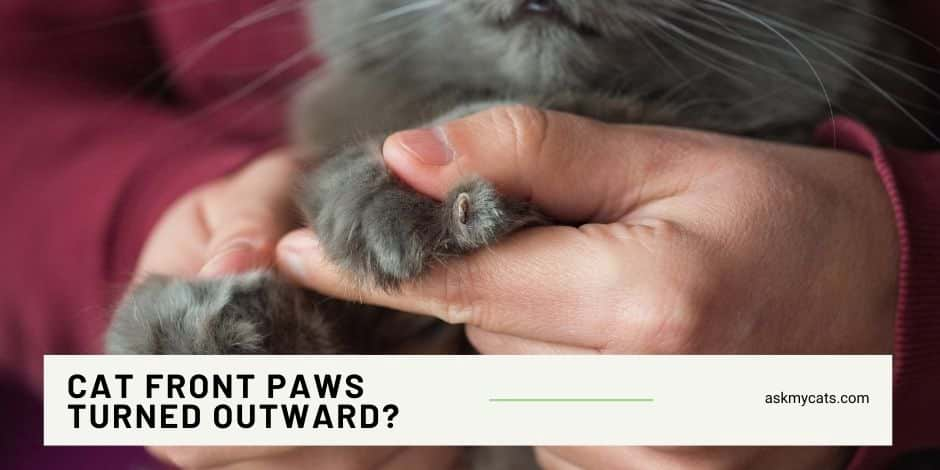 Cat Front Paws Turned Outward