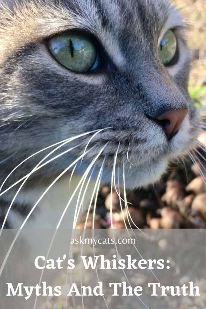 Cat's Whiskers_ Myths And The Truth