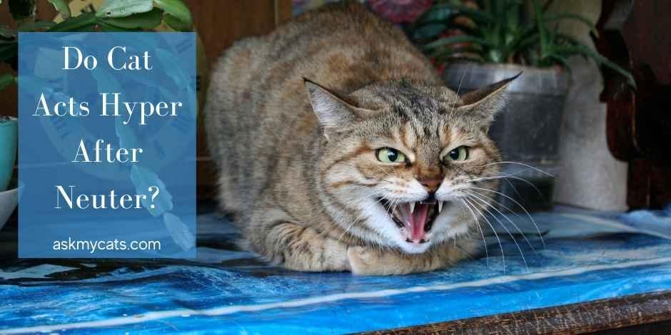 Do Cat Acts Hyper After Neuter
