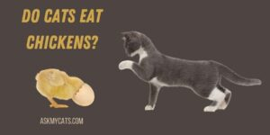 Do Cats Eat Chickens? Know These Reasons!