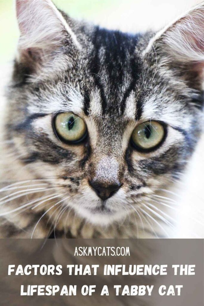 Factors That Influence The Lifespan Of A Tabby Cat