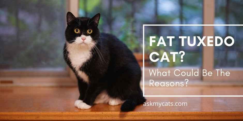 Fat Tuxedo Cat