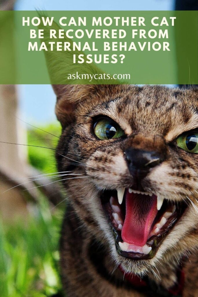How Can Mother Cat be Recovered From Maternal Behavior Issues
