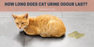 How Long Does Cat Urine Odour Last? Know These Facts!