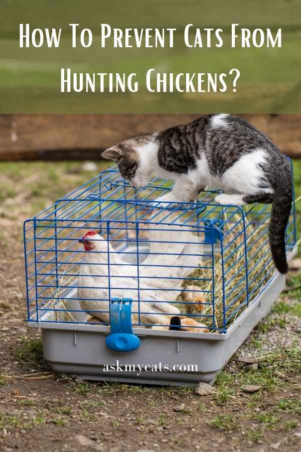 How To Prevent Cats From Hunting Chickens?