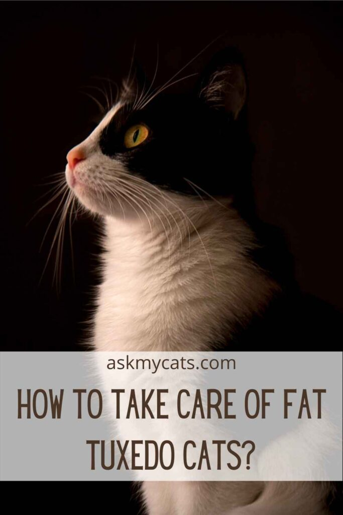 How To Take Care Of Fat Tuxedo Cats?