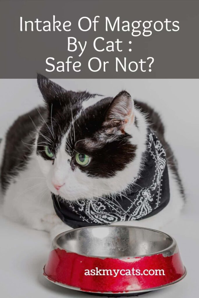 Intake Of Maggots By Cat Safe Or Not