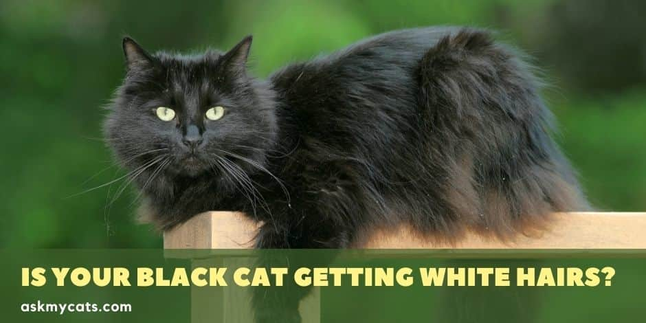 Is Your Black Cat Getting White Hairs