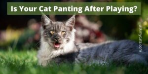 Is Your Cat Panting After Playing? Your Ignorance May Bring Trouble!