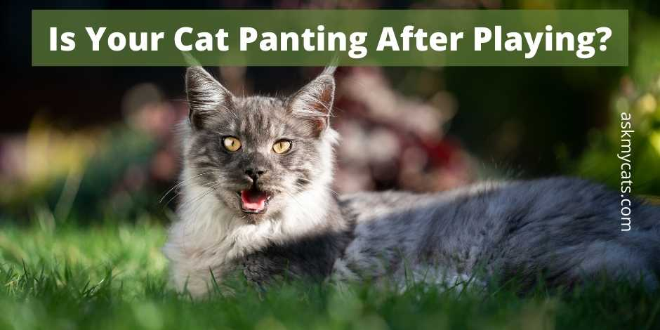 Is Your Cat Panting After Playing