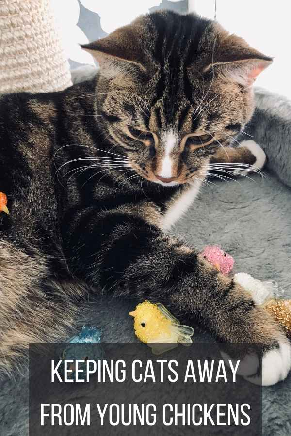 Keeping Cats Away From Young Chickens