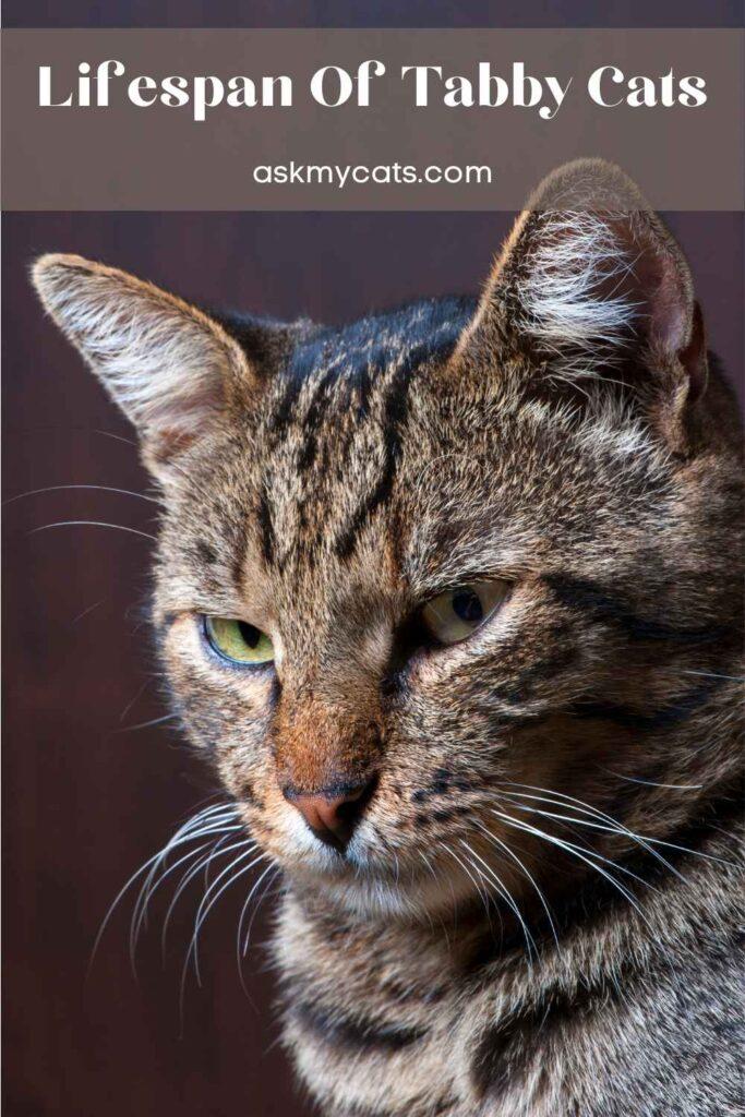 Lifespan Of Tabby Cats
