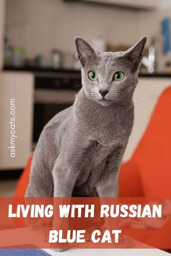 Living With Russian Blue Cat