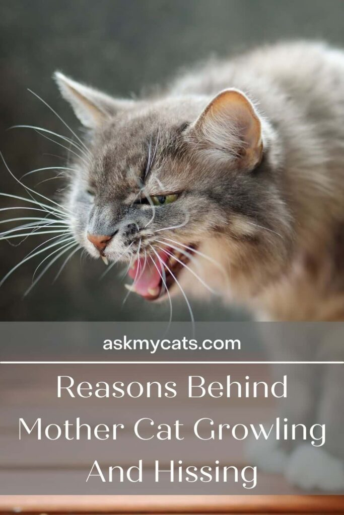 Reasons Behind Mother Cat Growling And Hissing