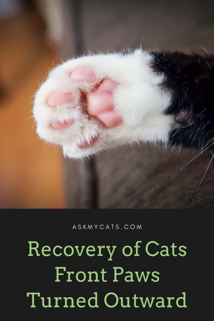 Recovery of Cats Front Paws Turned Outward