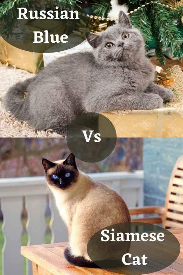 Siamese Cat Vs Russian Blue