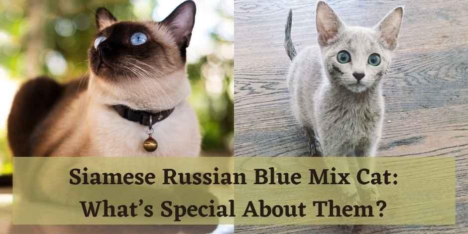 Siamese Russian Blue Mix Cat
