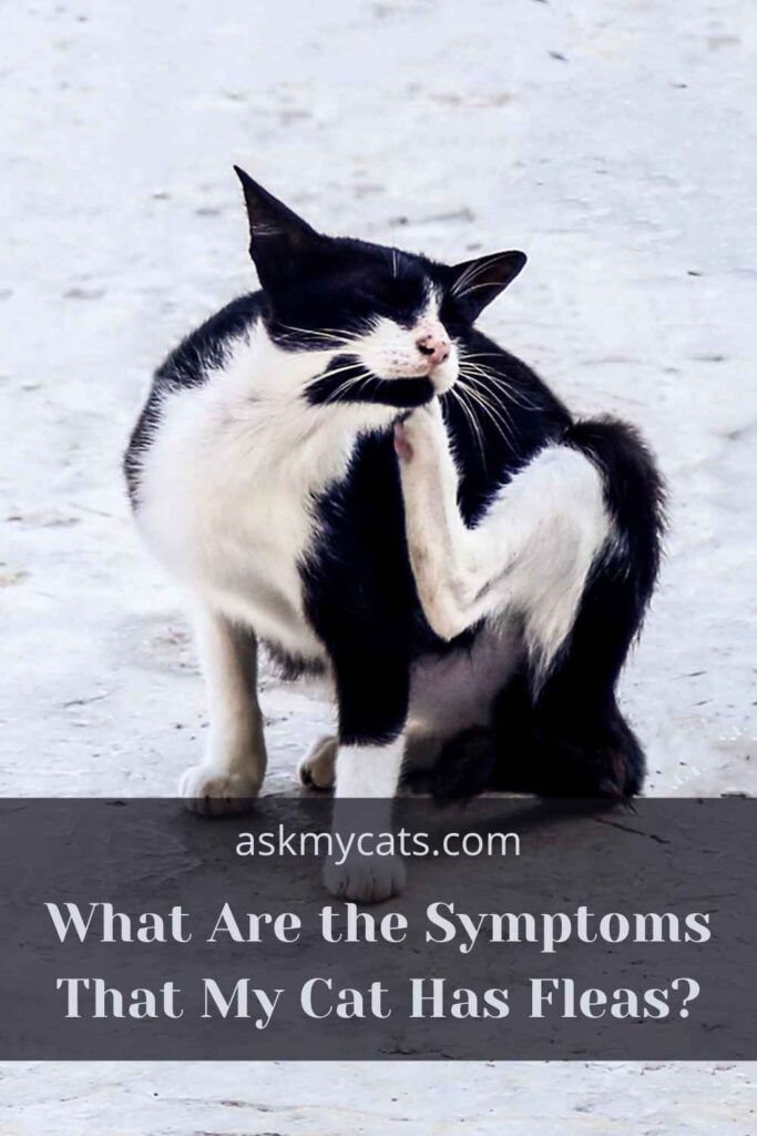 What Are the Symptoms That My Cat Has Fleas?