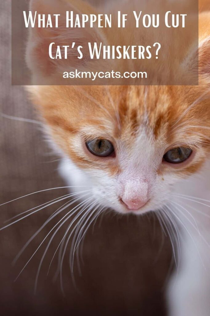 What Happen If You Cut Cat's Whiskers