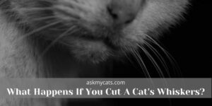 What Happens If You Cut A Cat's Whiskers? Know Before You Get Into Trouble!