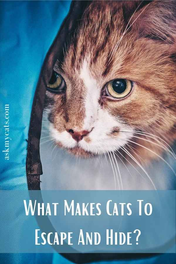 What Makes Cats To Escape And Hide?