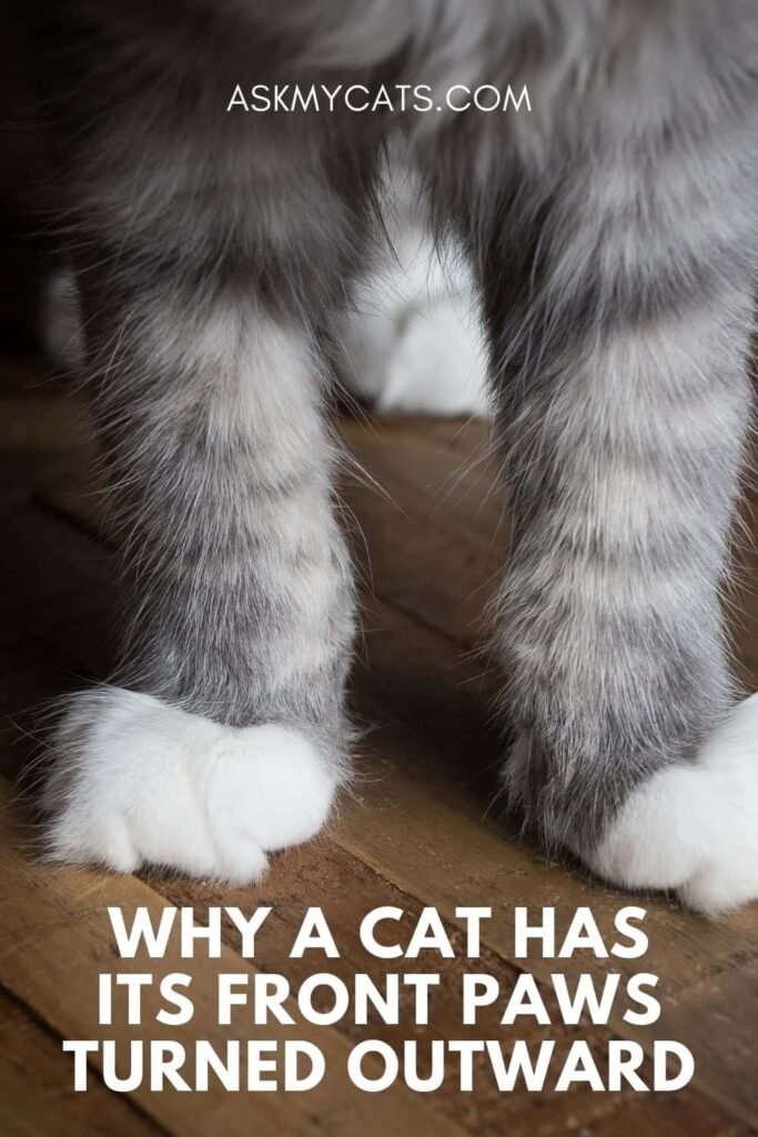 Why A Cat Has Its Front Paws Turned Outward