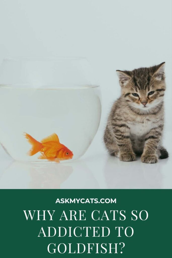 Why Are Cats So Addicted To Goldfish