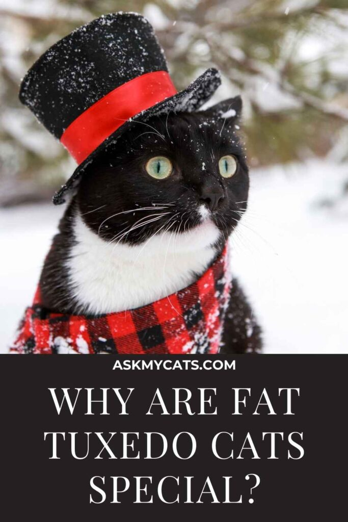 Why Are Fat Tuxedo Cats Special?