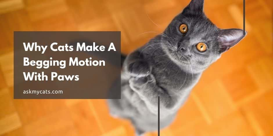 Why Cats Make A Begging Motion With Paws