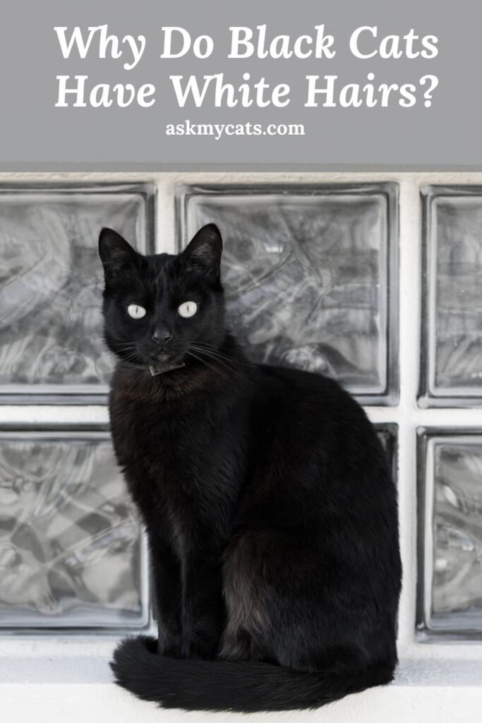 Why Do Black Cats Have White Hairs
