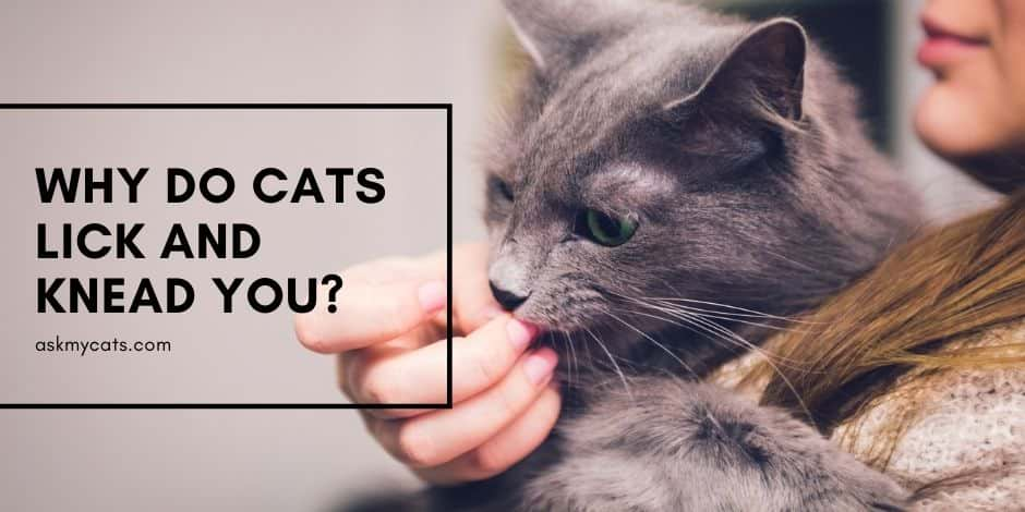 Why Do Cats Lick And Knead You