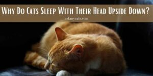 Why Do Cats Sleep With Their Head Upside Down? Know Super Cool Reasons!