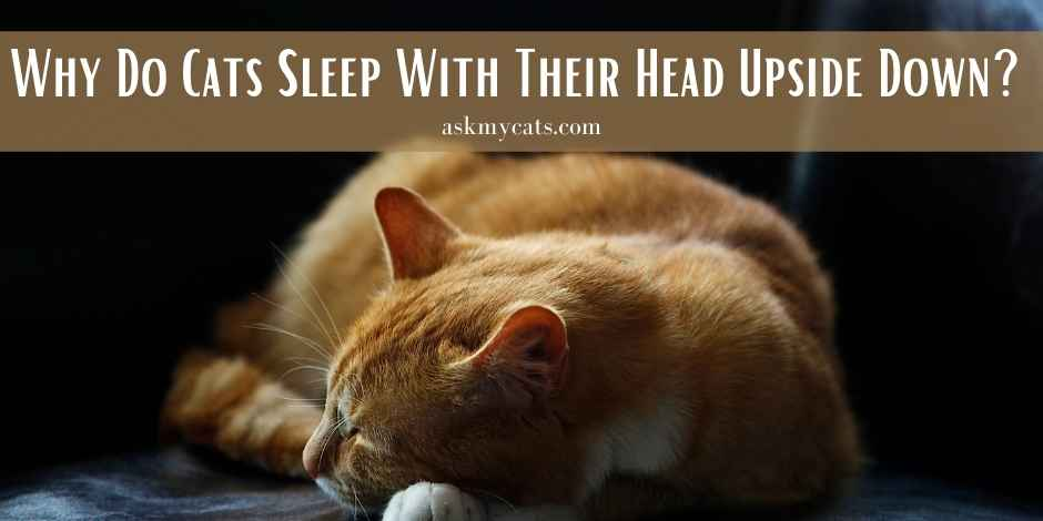 Why Do Cats Sleep With Their Head Upside Down