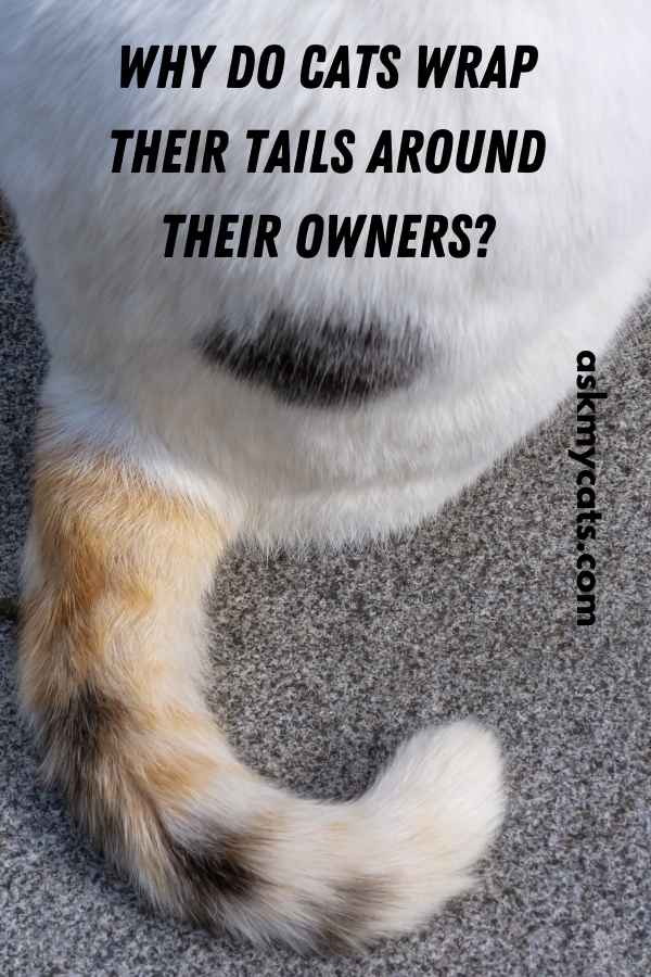 Why Do Cats Wrap Their Tails Around Their Owners?