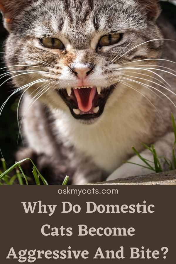 Why Do Domestic Cats Become Aggressive And Bite?