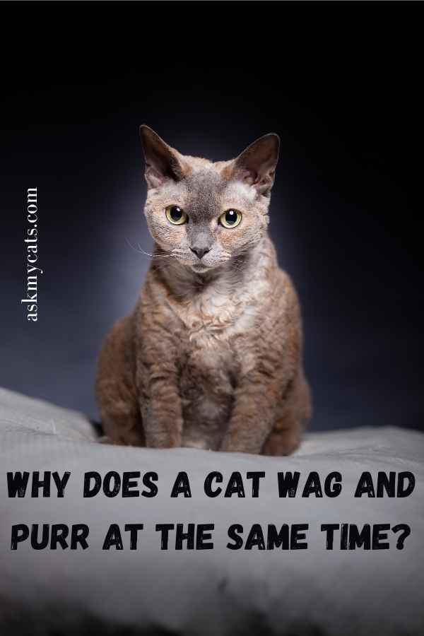 Why Does A Cat Wag And Purr At The Same Time?