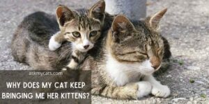 Why Does My Cat Keep Bringing Me Her Kittens? Reasons You Might Miss!