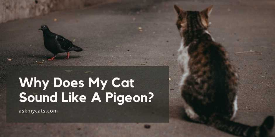 Why Does My Cat Sound Like A Pigeon