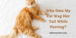 Why Does My Cat Wag Her Tail While Purring? Know These Reasons First!