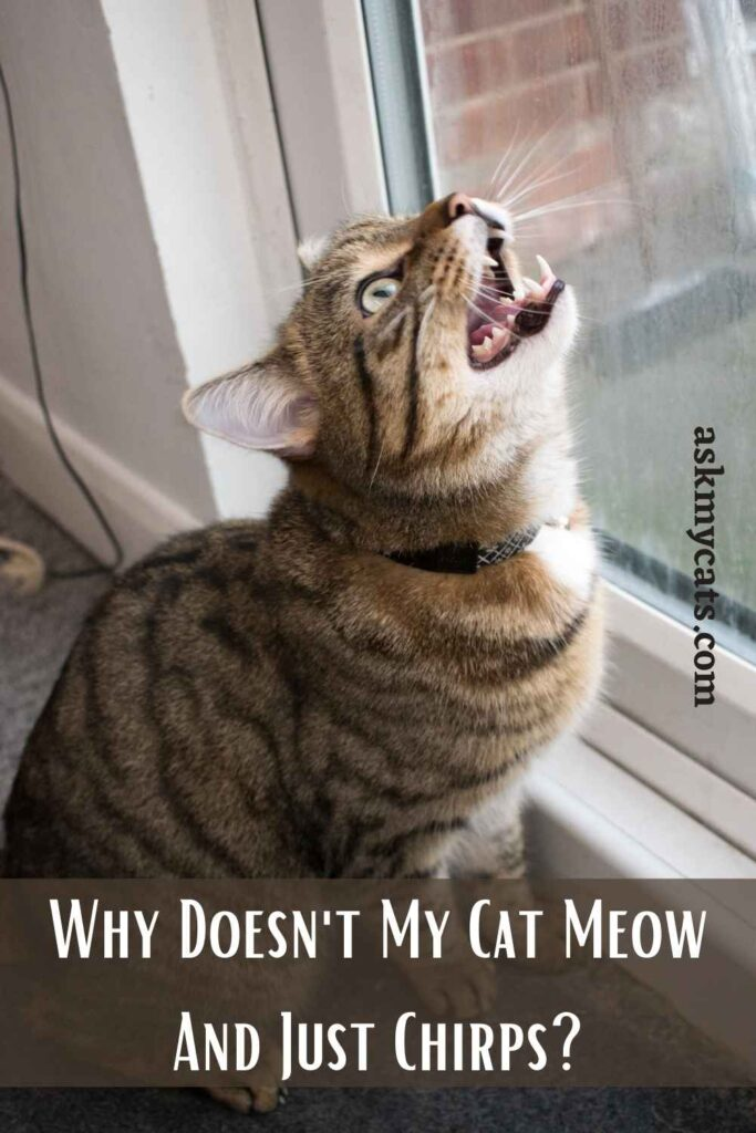 Why Doesn't My Cat Meow And Just Chirps?