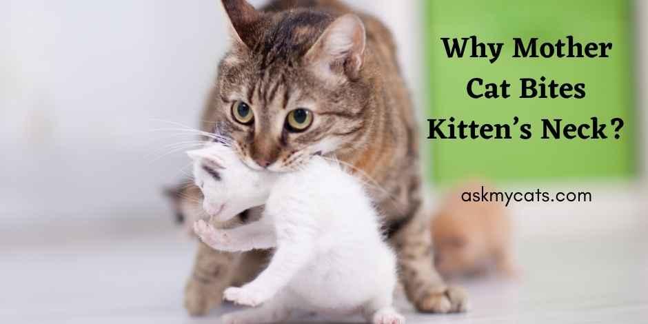 Why Mother Cat Bites Kittens Neck